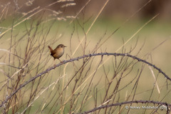 Wren (Ashley Middleton Photography) Tags: inglesham riverthames troglodytidae wren animal bird england europe river unitedkingdom wiltshire