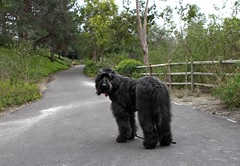 Benni, waiting for Kerri and Don (Bennilover) Tags: dog dogs family sister brother walking trail labradoodle benni bennigirl