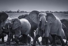 Elly in boots (Kevin Rheese) Tags: africa eyecontact tusks herd namibia bw boots animal alarmed elephant wildlife monochrome feet mahangogamereserve mud ears trunks action zambeziregion na