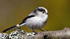 DSC_8676 Mésange à longue queue (sylvette.T) Tags: animal oiseau 2019 bird branche nature aegithaloscaudatus longtailedtit mésangeàlonguequeue