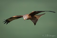 Red Kite. (JJB Images) Tags: amazingnature beautiful birds canon canoneos6d clear countryside detailed eos focus interesting jjbimages kite lumix minolta nikon nature natural pretty panasonic rspb rural fuji wiltshire woodlands wildlife xl zoom zoomed milvusmilvus redkite