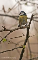 Blue Tit (Huddsbirder) Tags: huddsbirder bluetit oldmoor fe70300mm sony a6500 rspb