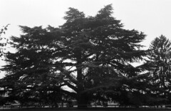 Deodar Cedar (prissynme) Tags: nikonfg20 35mmf20 film expiredfilm fomapan400 maymontfarm