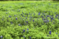 6D_Aransas (26)-Edit (Scott Sanford Photography) Tags: 6d canon eos naturalbeauty naturallight nature outdoor springbreak texas wildflowers beautiful bluebonnets flowers roadtrip spring bokeh dof depthoffield