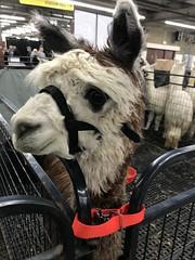 White-faced alpaca (f l a m i n g o) Tags: animal alpaca