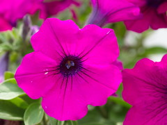 Patricia garden flower (Kirlikedi) Tags: 14thfebruary 8march aryan newyear patricia valentinesday backyard background bloom botanical bouquet closeup colored crown dear decor decoration design energetic femaleorgan flowerbeautiful garden gift insect kind landscape leaf love macro mothersday nature ornamental plant pollen pot pottedflower purple red reproductive seasonal seed self spring vein view womenday yellow flower beauty