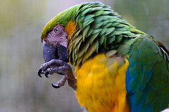 Blue and gold macaw (jamestapatio) Tags: oaklandzoo macaw blueandgold