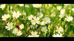 Céraiste des champs (Photography Christophe.H) Tags: céraiste fleur flower bzh exterieur reflex canon bretagne nature 50mm