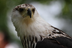 IMG_1486 (Stefan Kusinski) Tags: hemsley duncombe ncbp birdofprey