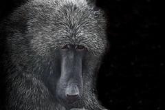 Animal Portraits - Long Face (KWPashuk) Tags: nikon d7200 tamron tamron18400mm lightroom luminar2018 luminar luminar3 kwpashuk kevinpashuk ape baboon primate toronto zoo ontario canada wildlife nature animal portrait torontozoo outdoors