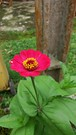 20181116_155037 (Feralysa) Tags: flor flower rosa hibisco natureza