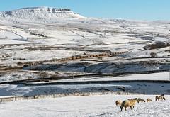 Penyghent Vista (Kingmoor Klickr) Tags: gordonedgar penyghent gbrailfreight 66740 sc settlecarlisle railfreight snow selside