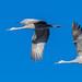 Flight of the sandhill cranes
