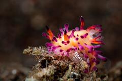 Aegires Villosus laying eggs (Luko GR) Tags: indonesia bali tulamben critters macro diving underwater seaslugs nudibranchs colorful eggs