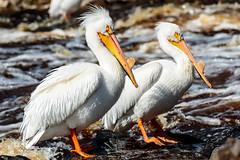 Dryin' Off (Images by Beaulin) Tags: rapidriver wildlife birds pelecanuserythrorhynchos waterbirds clementson americanwhitepelican lakeofthewoodscounty minnesota