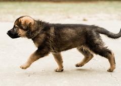 2019-03-02, Mel x Dezi Red Female-3 (Falon167) Tags: gsd germanshepherddog german shepherd dog puppy mel dezi melxdezi litter bessie puppies