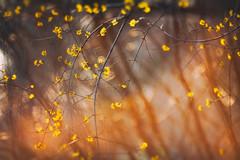 Flutter II (Ans van de Sluis) Tags: 2019 ansvandesluis westkanaaldijk bokehlicious february flora floral macro nature pond sunset winter flutter flutterii springfeelings yellow sun sunbeams