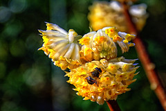 Paper bush China chrysantha edgeworthia (scorpion (13)) Tags: paper bush china chrysantha edgeworthia flowers fly insect nature sun color garden vanilla smell spring photoart