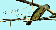 Blue-headed Vireo, Vireo solitarius (asterisktom) Tags: blueheadedvireo vireosolitarius vireo mexico oaxaca coastal 2019 march puertoescondido bird vogel ave 鸟 птица 鳥 pajaro mexico2019janmarch