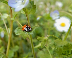 Happy Vernal Equinox! (rockwolf) Tags: vernalequinox springequinox 7spot ladybird coccinellidae coccinelle coleoptera beetle insect coccinellaseptempunctata coccinelleà7points spring uptonmagna shropshire rockwolf