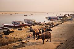 Three Buffalo (*trevor) Tags: 2019 fujifilmx ganges india river varanasi waterbuffalo x100f dusk streetcows