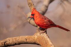 Northern Cardinal (Lynn Tweedie) Tags: eye branch 7dmarkii feathers beak northerncardinal sigma150600mmf563dgoshsm wing eos bird canon missouri ngc animal