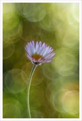 Diaplan 13 (Outlaw Pete 65) Tags: macro closeup fiore flower margherita daisy natura nature colori colours bolle bubbles nikond750 meyergoerlitzdiaplan80mm brescia lombardia italia