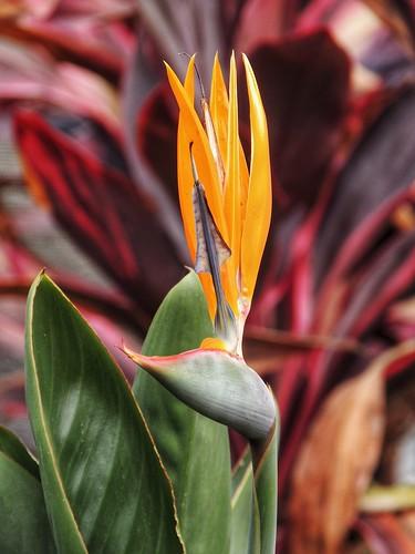 Bird of Paradise......