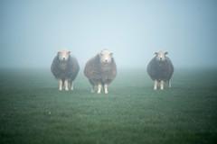 20190329 (Homemade) Tags: sheep field morning farm countryside valeofthewhitehorse vivitar70210mmf35series1 fog mist grove wantage oxfordshire southoxfordshire