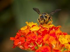 04-04/365_Buscando su Santo Grial (Dopior) Tags: 2017 avispa insecto macros