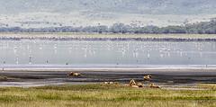 LION 14 (Nigel Bewley) Tags: tanzania africa wildlife nature wildlifephotography nigelbewley photologo appicoftheweek safari gamedrive lion pantheraleo simba lakemagadi ngorongoroconservationarea march march2019 pride bigcat greaterflamingo phoenicopterusroseus