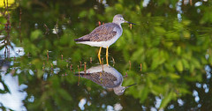 Greater yellowlegs (Tringa melanoleuca) - Playa Pesquero, Holguin, Holguín Province, Cuba - Feb 2019 (Dis da fi we) Tags: greater yellow legs tringa melanoleuca playa pesquero holguin holguín province cuba yellowlegs