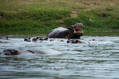 Hungry Hungry... (pbr42) Tags: africa uganda queenelizabethnationalpark nationalpark hdr water lake crater h2o kazinga kazingachannel animal hippo hippopotamus nature