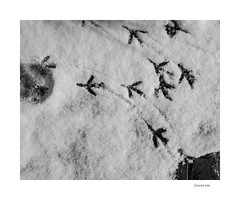 Invasion (agianelo) Tags: bird tracks snow monochrome bw bn blackandwhite