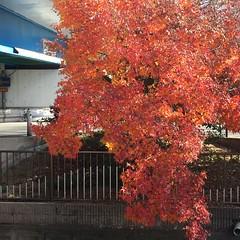 燃えるモミジ (eyawlk60) Tags: momiji kayede winter autumn beautiful モミジ 紅葉 秋 晩秋 冬 初冬 寝屋川 flickraward