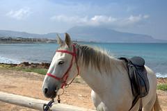 White Horse (Teresa (be there...)) Tags: pferd meer wasser sizilien strand küste kopf ohren haare