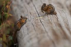 Chipmunks (Samuel Raison) Tags: chipmunk wildlife nature naturephotography wildlifephotography nikon nikon2870200mmafsvr nikond800 faune yellowstone yellowstonenationalpark yellowstonewildlife