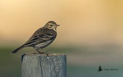 Bisbita pratense (Anthus pratensis) (jsnchezyage) Tags: bisbitapratense anthuspratensis ave pájaro bird birding birdwatching ornithology beak feather pipit meadowpipit