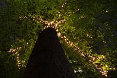Lucioles (Atreides59) Tags: londres london england angleterre arbre tree trees arbres nature lumière light lumières lights urban urbain night pentax green vert jaune yellow k30 k 30 pentaxart atreides atreides59 cedriclafrance