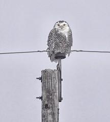 Snowy Owl (Immature phase) (Steve InMichigan) Tags: owls owl snowyowl birds northamericanbirds michiganbirds