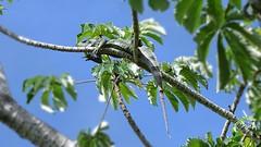 Iguana (sileneandrade10) Tags: sileneandrade iguana iguanaiguana pantanal réptil iguanidae lagarto floresta natureza animal camuflagem verde árvore sonydschx400v sony