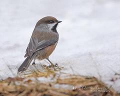 Boreal Chickadee (Bill McDonald 2016) Tags: boreal chickadee borealchickadee nature wildlife bird avian perched foraging billmcdonald 2019 january winter ontario canada
