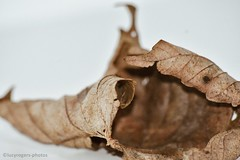 (lucyrogersphotography) Tags: macro lucyrogers nature stilllife leaf leaves brown