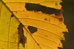 Shadow warrior (Thomas Roland) Tags: leaf yellow gul spider edderkop sjælland zealand denmark danmark dänemark europe efterår autumn herbst 2018 nikon d7000 europa outdoor scandinavia skandinavien lejre ejby ryegaard dyrehave blad colour makro macro closeup flora detail detalje