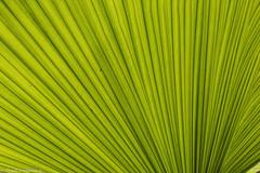 Big Fan (Thad Zajdowicz) Tags: zajdowicz sanmarino california usa travel canon eos 5dmarkiii 5d3 dslr digital availablelight lightroom primelens 50mm palm leaf fan flora plant tropical nature green monochrome abstract color colour foliage lines macro closeup geometric
