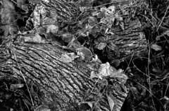 Returning to the earth (Richie Rue) Tags: woods woodland forestfloor log tree felled cutdown nature foma fomafomapan100 championpromicrol minolta dynax 800si film analogue 35mm ishootfilm istillshootfilm filmsnotdead blackandwhite monochrome bnw bw intimatelandscape mindfulphotography contemplative outdoors fineart
