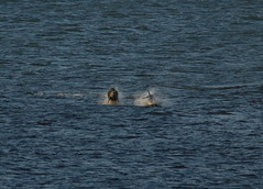 IMG_5409 (monika.carrie) Tags: monikacarrie wildlife scotland aberdeen dolphins dolphin cetacean mammals