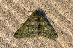 Pale Brindled Beauty ... Phigalia pilosaria (AndyorDij) Tags: palebrindledbeauty phigaliapilosaria lepidoptera moth andrewdejardin england empingham empinghammoths insect rutland uk unitedkingdom nationalmothweek