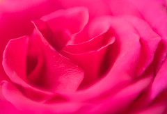 Pink rose (stoneleighboy) Tags: flowers nature colour soft macro delicate petals