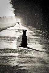 Waiting (HansenBenHansen) Tags: blackwhite dog 7d canon7d canon eos7d eos canonef7020040lis canoneos7d tiere animals dogs hunde apsc crop cmos